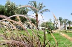 Grama bonita com os spikelets através de que as palmeiras com folhas em um recurso tropical são vistas contra um céu azul e um gr Foto de Stock Royalty Free