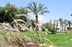 Grama bonita com os spikelets roxos através de que as palmeiras com folhas em um recurso tropical são vistas contra um céu azul e Fotos de Stock