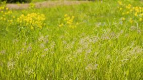 Grama bonita que balan?a no vento Quadro bonito maravilhoso Plantas muito bonitas Ilumina??o maravilhosa video estoque