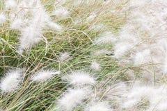 A grama branca macia está agitando no vento Foto de Stock