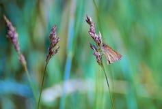 Grama com borboleta Foto de Stock Royalty Free