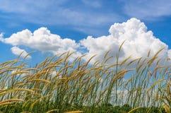 Grama com céu azul e fundo branco da nuvem Imagem de Stock Royalty Free