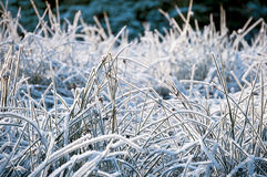 Grama congelada Fotografia de Stock Royalty Free