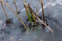 Grama congelada no gelo Imagem de Stock Royalty Free