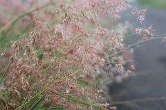 Grama cor-de-rosa Imagem de Stock