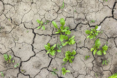 A grama cresce acima no solo seco Foto de Stock