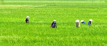 A grama da colheita da mulher do fazendeiro no arroz coloca Foto de Stock Royalty Free