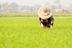 Grama da colheita no campo Foto de Stock Royalty Free