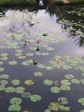 Grama da erva daninha do lago da água de Lotus fotos de stock