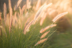 Grama da flor na luz do por do sol Fotografia de Stock Royalty Free