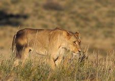 Grama da leoa fotos de stock