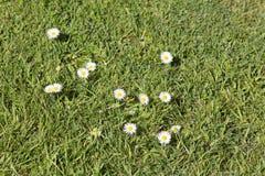 Grama das pragas da erva daninha do gramado Imagens de Stock Royalty Free