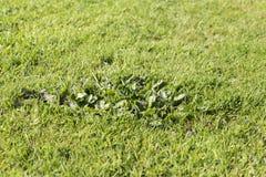 Grama das pragas da erva daninha do gramado Fotos de Stock Royalty Free