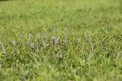 Grama das pragas da erva daninha do gramado Fotografia de Stock