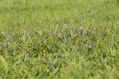 Grama das pragas da erva daninha do gramado Fotos de Stock