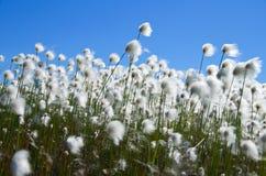Grama de algodão Imagem de Stock