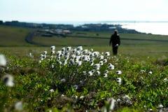 Grama de algodão na tundra de Chukotka Foto de Stock