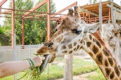 Grama de alimentação com as mãos do rothschildi dos camelopardalis do Giraffa do girafa do ` s de Rothschild Fotos de Stock