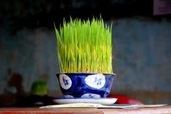 Grama de arroz Fotografia de Stock