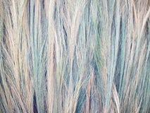 Grama de bambu, grama do tigre, cores diferentes das flores da grama, configuração espalhada para fora para secar & x28; style& x Fotos de Stock