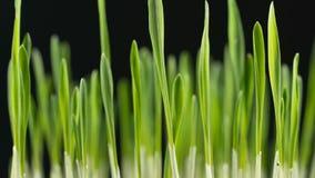 Grama de cevada verde crescente video estoque