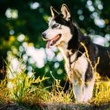 Grama de Husky Dog Sitting In Green exterior verão imagens de stock