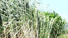 Grama de Napier em plantas da exploração agrícola vídeos de arquivo