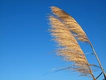Grama de pradaria no vento Fotografia de Stock Royalty Free