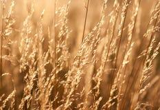 Grama de pradaria seca Fotografia de Stock