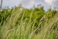 Grama de prado O vento de sopro dobra as lâminas de grama no campo fotografia de stock