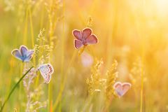 Grama de prado selvagem e muitas borboletas no tiro do macro da natureza Fotografia de Stock