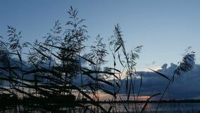Grama de prata da pena que balança no vento após o por do sol no lago filme
