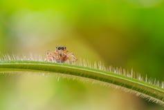 Grama de salto da ilha da aranha macro no verde fotos de stock