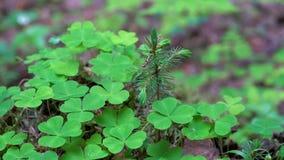 A grama de verde floresta nova cresce em um coto ao lado de uma árvore verde pequena no close-up macro da floresta video estoque