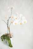 Grama decorativa no flowerpot No fundo branco Foto de Stock