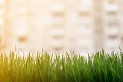 Grama diy doméstica do trigo sunshined Imagem de Stock