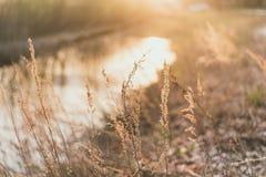 grama do campo nos raios do sol de ajuste Fundo bonito campo dourado do centeio perto do rio imagens de stock royalty free