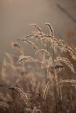 Grama do carriço no outono no fundo marrom Juncos no por do sol Imagem de Stock