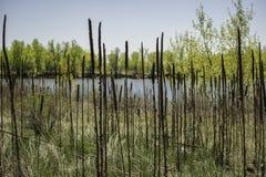 Grama do Cattail perto da lagoa Imagem de Stock Royalty Free