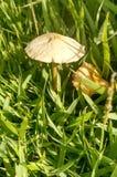 Grama do cogumelo Fotografia de Stock
