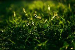 Grama do gramado na luz solar Close-up Gramado fresco da grama verde na luz solar, ajardinando no jardim, beleza da temporada de  Fotos de Stock Royalty Free