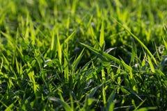 Grama do gramado na luz solar Close-up Gramado fresco da grama verde na luz solar, ajardinando no jardim, beleza da temporada de  Imagens de Stock Royalty Free