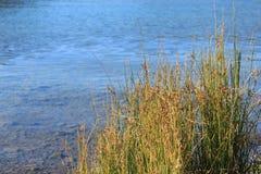 Grama do lago & da água Imagens de Stock