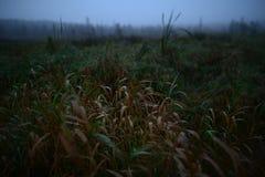 A grama do outono do desvanecimento na manhã orvalha em um fundo do pântano nevoento Fotos de Stock Royalty Free