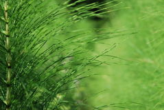 Grama do pântano Imagem de Stock