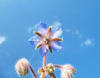 Grama do pepino (officinalis L. do Borago) Fotografia de Stock