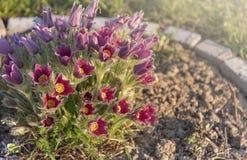 Grama do sono, flores Foto de Stock Royalty Free