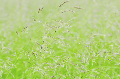 Grama do verão Imagem de Stock