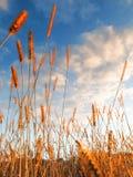 A grama dourada da terra da pradaria balança contra um céu azul com nuvens brancas Imagens de Stock