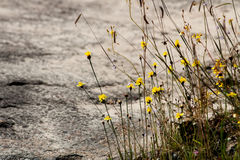 Grama e flor amarelas no prado Fotografia de Stock Royalty Free